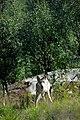 Varg fotograferad pa Polar Zoo Norge (26).jpg