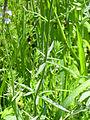 Verbena officinalis TalloyHojas 2011-6-25 SierraMadrona.jpg
