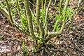 Veronica stricta in Christchurch Botanic Gardens 01.jpg