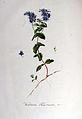 Veronica teucrium — Flora Batava — Volume v6.jpg