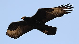 Riverine rabbit - The black eagle is one of the primary predators of the riverine rabbit