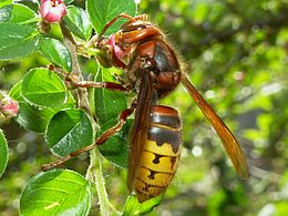 Vespa crabro germana 05.jpg