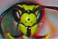 Vespula germanica, German Wasp (4K3D-anaglyph).jpg