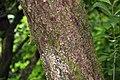 Viburnum sieboldii in Eastwoodhill Arboretum (2).jpg