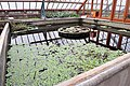 Victoria amazonica water basin at the Oude Hortus in Utrecht.jpg