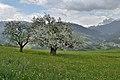 Viersch bei Klausen Sankt Katharina 3 Apfelbäume.jpg