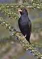 Village indigobird, Vidua chalybeata, at Mapungubwe National Park, Limpopo, South Africa (male) (18037295435).jpg