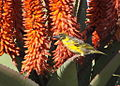 Village weaver (Ploceus cucullatus) - male on aloe (5957472695).jpg