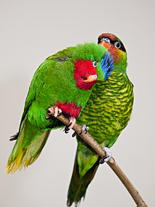 Vini australis and Trichoglossus johnstoniae -London Zoo, England-8a.jpg