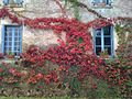 Virginia creeper, turning red for the fall - panoramio.jpg