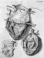 W. Cowper, Myotomia reformata Wellcome L0024328.jpg