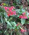 Warszewiczia coccinea (29317475221).jpg