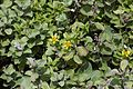 Wedelia prostrata and Vitex trifolia subsp. litoralis.jpg