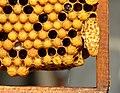 Weiselzelle auf Bienenwabe 70b.jpg