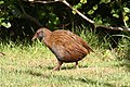 Weka on the prowl.jpg