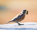 Western Bluebird with caterpillar (37396038094).jpg
