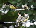 Western Kingbird (fledges and parents) (42900610904).jpg