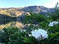 Western azalea Castle Lake CA.jpg