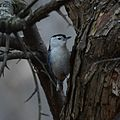 White-breasted nuthatch (32435341502).jpg
