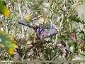White-browed Tit Warbler (Leptopoecile sophiae) (46971707135).jpg