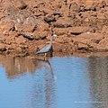 White-faced heron Burke River Boulia Queensland P1030906.jpg