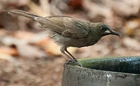 Description de l'image White-gaped honeyeater.jpg.