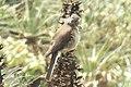 White-tailed Shrike-Tyrant (Agriornis albicauda) 2015-06-10 (2) (40327391861).jpg