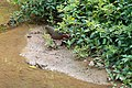 White-throated Rail, Madagascar (15284601894).jpg