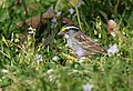 White-throated Sparrow (playing around with cropping) (32332787812).jpg