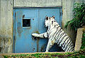 White Bengal Tiger at Door (11889542686).jpg
