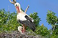 White Storks (Ciconia ciconia) nesting (26527240206).jpg