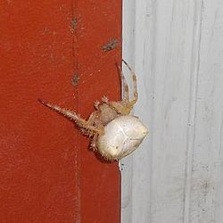 White cat faced spider.jpg