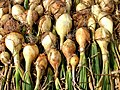 White onions drying.jpg
