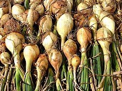 250px-White_onions_drying.jpg (250×188)
