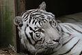 White tiger (4038928681).jpg