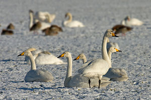 Swan - Whooper swans migrate from Iceland, Greenland, Scandinavia, and Northern Russia to Europe, Central Asia, China, and Japan