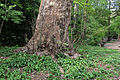 Wien-Penzing - Naturdenkmal 27 - Dehnepark - Ahornblättrige Platane (Platanus × hybrida) III.jpg