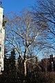 Wien-Penzing - Naturdenkmal 46 - Platane (Platanus x hybrida).jpg