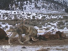 Photograph of a wolf afflicted with sarcoptuc mange eating at a kill