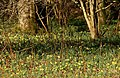 Wild daffodils in Dunsford Wood - geograph.org.uk - 1774004.jpg