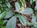 Wild plant from a kaavu.jpg