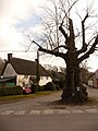 Winterborne Stickland, large tree in West Street - geograph.org.uk - 1752506.jpg
