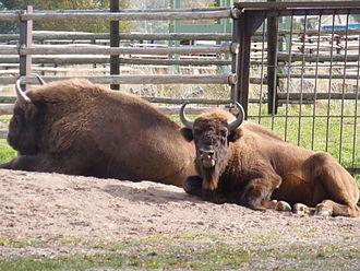 Avesta Municipality - European bison (wisent) in captivity, Avesta Visentpark, Dalarna, Sweden.