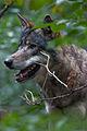 Wolf (3934588679).jpg