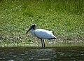 Wood Stork. Mycteria americana (38300695592).jpg