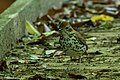 Wood Thrush Hooks Wood High Island TX 2018-04-10 08-36-15 (39778010910).jpg