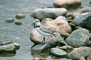 Wrybill Anarhynchus frontalis, New Zealand.jpg