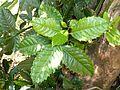 Xymalos monospora, jong loot, Louwsburg.jpg