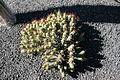 Yaiza El Golfo - Avenida Maritima - Euphorbia enopla 01 ies.jpg