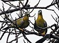 Yellow-footed Green Pigeons (Treron phoenicoptera)- chlorigaster race- Pair just before Mating I IMG 4981.jpg